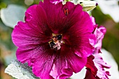 A bee and a beetle inside a pink mallow flower