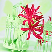 Nerine flowers (Nerine Elegance) in old fashioned bird cages