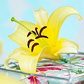 A yellow lilly (Lilium Yelloween)