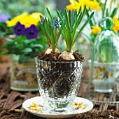 Grape hyacinths in a glass vase
