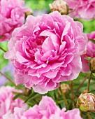 Pink peony (Paeonia Sweet Harmony)