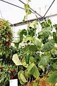 Cucumbers growing in a greenhouse
