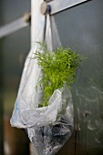 A fennel plant in a plastic bag