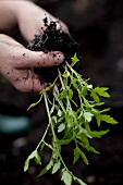 Hands holding a tomato plant