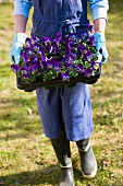 A person carrying pansies in a garden