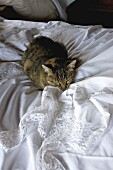 House cat sitting on white bed linen on bed