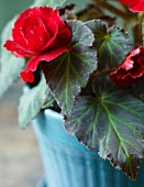Blooming Begonia Plant in a Blue Pot