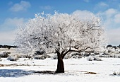 Snow-covered olive tree