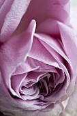 Pink, scented rose (close-up)