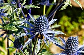 Sea-holly in a garden