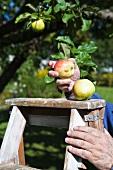 Hand mit Äpfeln an einer Leiter