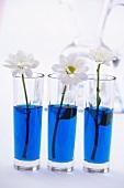Chrysanthemums in glasses of blue water