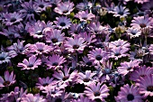A mass of pink and blue Cape daisies