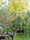 Apples on an apple tree in a garden