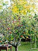Apfelbaum mit Früchten im Garten