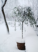Snowbound potted olive tree