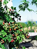 Fruiting blackberry bush