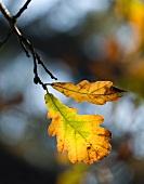 Autumnal leaves on twig