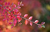 Twig with autumnal leaves