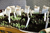 Tomato seedlings in soil