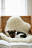 Kleiner Hund auf Lammfell