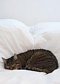 Schlafende Katze im Bett mit weisser Bettwäsche