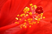 Red hibiscus flower (detail)