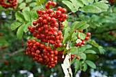 Twig with rowan berries