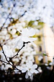 Twig with white magnolia flowers