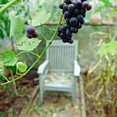 Blue grapes hanging above a chair in a green house