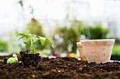 Seedlings in clay pots