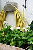 Flower box in front of a coiled up garden hose hanging on the wall