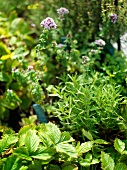 Assorted herbs in a vegetable bed