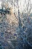 Vereiste Sträucher im Winter