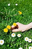 Hand picking dandelions