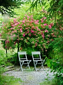 Two garden chairs in front of a flowering bush