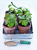 Fresh basil in flower pots
