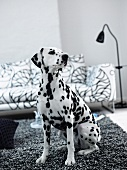 Dalmatian sitting on a black and white carpet in front of a sofa