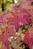 Red and yellow leaves on Oriental sweet gum tree (Liquidambar orientalis)