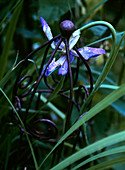 Purple lily inside decorative metal plant support