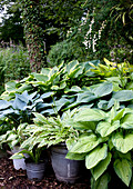 Various types of hosta in old buckets in woodland garden