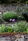 Alliums and other flowering plants growing on stone wall
