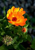 Blühende Calendula im Garten