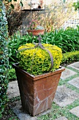 Box bush and iron crown in square terracotta pot on stone flags in garden
