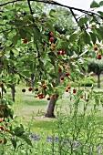 Fruit on cherry branch in garden