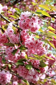 Japanese cherry (in blossom)