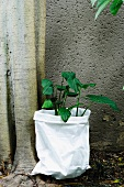Plant with green leaves in white bag and tree trunk against house facade