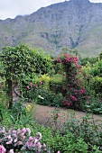 The mountain makes a wonderful backdrop for a rose climbing over a pergola