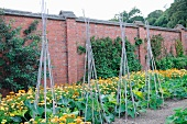Red brick wall surrounding garden with courgettes and marigolds