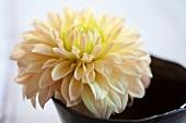 Single white dahlia flower (close up)